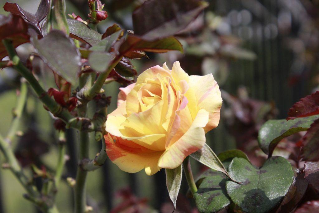 Rose in Ecuador